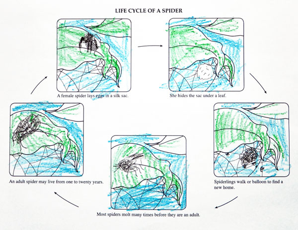 Life Cycle of a Spider Worksheet